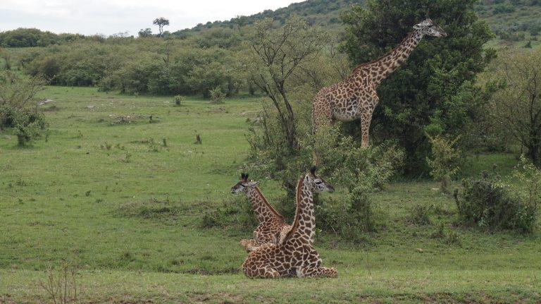 Africké safari zájezd Keňa žirafí rodinka