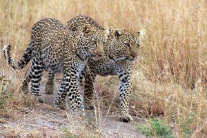 Národní park Tsavo West africké safari
