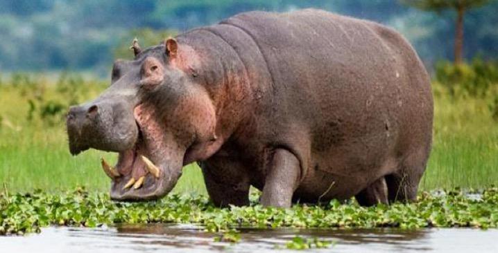 Keňa - hroch safari
