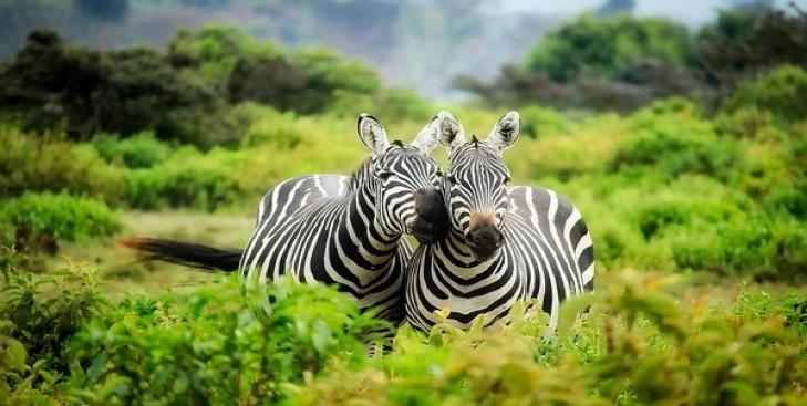 Zebry v Keni